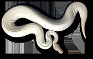 Morphology Pythons
